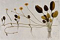 Buttercup (Ranunculus sp.); flowering and stoloniferous stem Wellcome V0042940.jpg