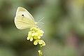 Butterfly (19136203343).jpg