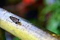 Butterfly 88 - Borboleta 88 - Cataratas do Iguacu - Foz do Iguacu - Brasil (23649554914).jpg