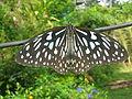 Butterfly irv9.jpg