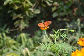 Butterfly on yellow flower 2.jpg