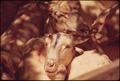 CLOSEUP OF SHEEP ON A RANCH NEAR LEAKEY, TEXAS, AND SAN ANTONIO - NARA - 554891.tif