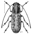 COLE Anthribidae Euciodes suturalis f.png