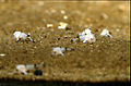 CSIRO ScienceImage 2674 Newly hatched spotted handfish.jpg