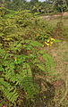 Caesalpinia mimosoides1.jpg