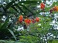 Caesalpinia pulcherrima (2).JPG