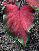 Caladium 'Heart's Delight' Leaf.JPG