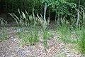 Calamagrostis arundinacea kz09.jpg