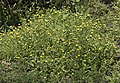 Calendula arvensis - Field marigold 01.jpg
