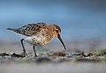 Calidris alpina vogelartinfo chris romeiks R7F6779.jpg