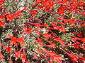 California fuschia Epilobium latifolium.JPG
