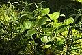 Calla palustris in natural monument Stribrna Hut in summer 2011 (3).JPG