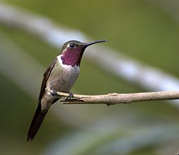 Calliphlox amethystina (male)