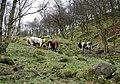 Callis Wood - geograph.org.uk - 362624.jpg