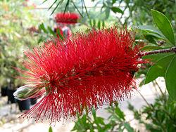 الحمراء 250px-Callistemon_ci