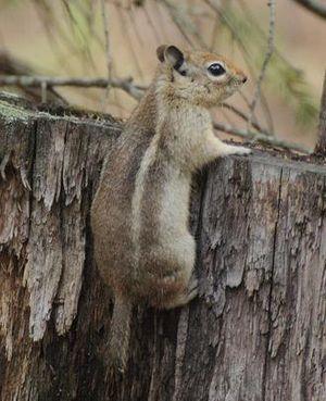 Sierra Madre ground squirrel - Image: Callospermophilus madrensis 2