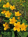 Caltha palustris (36241275843).jpg