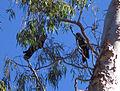 Calyptorhynchus banksii -Australia -pair in tree-6a.jpg