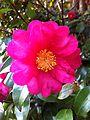 Camellia sasanqua 001.jpg