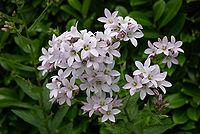 Campanula lactiflora Loddon A