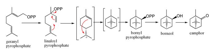 Biosintesi della canfora dal geranil pirofosfato