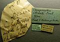 Camponotus christi casent0101436 label 1.jpg