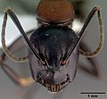 Camponotus obscuripes casent0008633 Head view.jpg