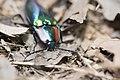 Campsosternus mirabilis (35674306495).jpg