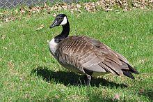 Canada goose - Wikipedia, the free encyclopedia