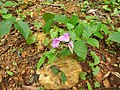 Canavalia gladiata-1-peppara wildlife-kerala-India.jpg