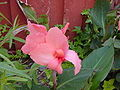 Canna lily cm.jpg