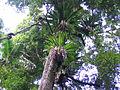 Canopy Goomburra Forest Reserve Main Range National Park.JPG