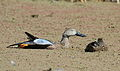 Cape Shoveler, Anas smithii at Marievale Nature Reserve, Gauteng, South Africa (20875044388).jpg