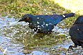 Cape Starling Bath 2019-07-26.jpg