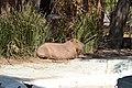 Capibara (Hydrochoerus hydrochaeris)1.jpg