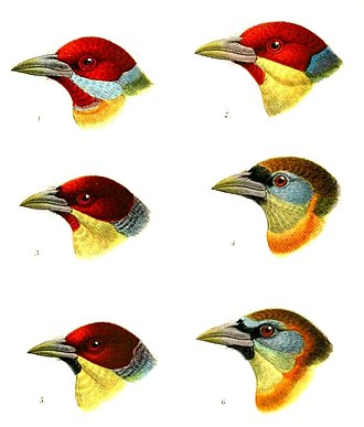 New World barbet - Image: Capito Keulemans, crop