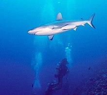 Requin nageant au-dessus d'un plongeur.