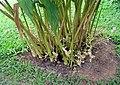 Cardomom plant.JPG
