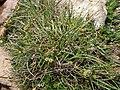 Carex extensa (5).jpg
