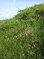Carex praecox sl10.jpg