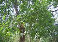 Careya arborea canopy.jpg