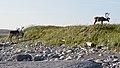 Caribou (Rangifer tarandus) - Port au Choix, Newfoundland 2019-08-19 (25).jpg
