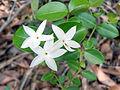 Carissa spinosa vaaka flower Kambhalakonda Visakhapatnam.JPG