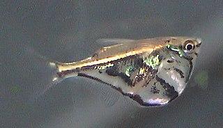 Marbled hatchetfish species of fish
