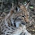 Carpathian Lynx 5a (16714587582).jpg