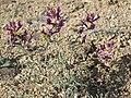 Case milkvetch, Astragalus casei (15342593344).jpg