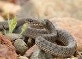 Caspian whipsnake - Kaspische toornslang - Dolichopus caspius.tif