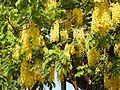 Cassia fistula flowers by Dr. Raju Kasambe DSCN4427 05.jpg