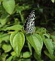 Castalius rosimon - Common Pierrot on the hostplant Ziziphus oenoplia - Jackal Jujube 34.JPG