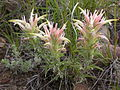 Castilleja sessilifolia (4001379594).jpg